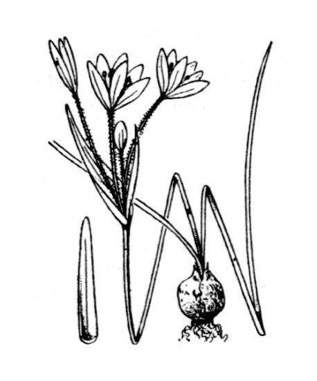 Gagea fragifera (Vill.) Ehr.Bayer & G.López