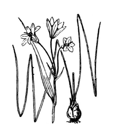 Gagea spathacea (Hayne) Salisb.