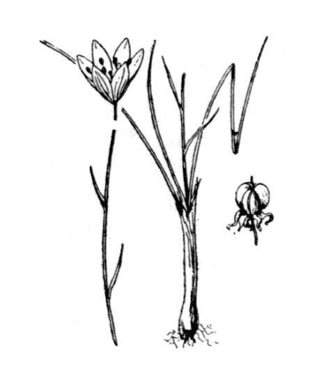 Gagea serotina (L.) Ker Gawl.