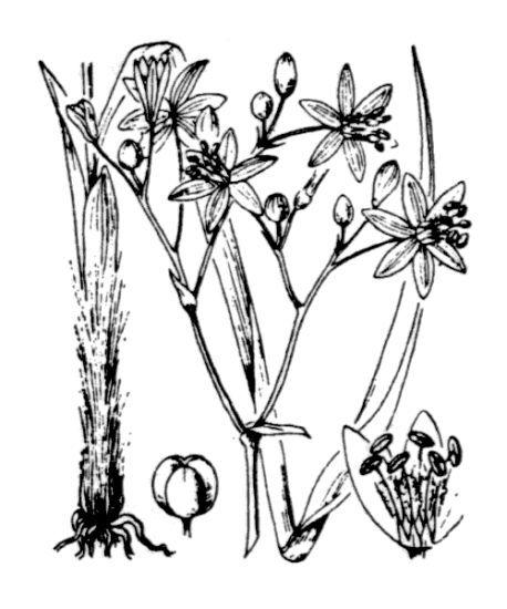 Simethis mattiazzii (Vandelli) Saccardo