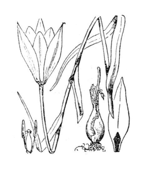 Tulipa clusiana Redouté