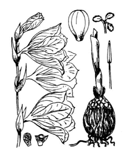 Gladiolus palustris Gaudin