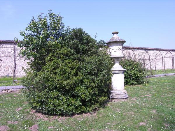 Osmanthus heterophyllus (G. Don) P.S. Green