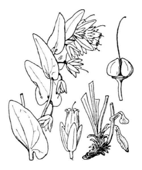 Cerinthe alpina Kit. ex Schult. subsp. alpina