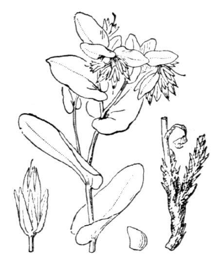 Cerinthe minor L. subsp. minor
