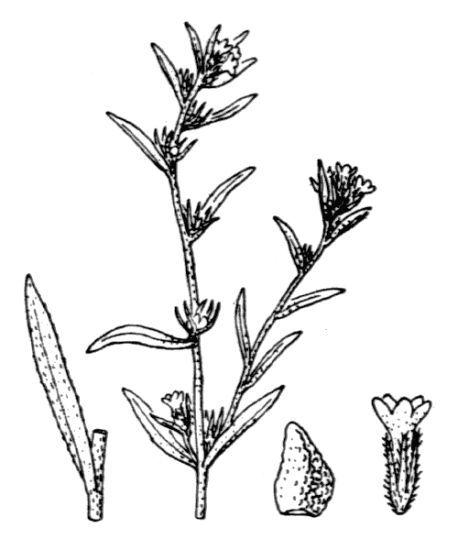 Buglossoides arvensis (L.) I.M.Johnst.