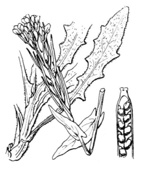 Turritis glabra L.