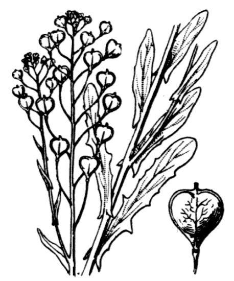 Camelina alyssum (Mill.) Thell. subsp. alyssum