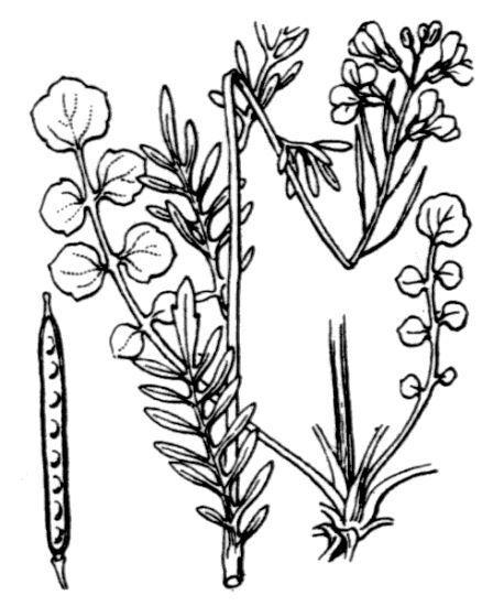 Cardamine pratensis L.