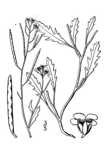Diplotaxis muralis (L.) DC.