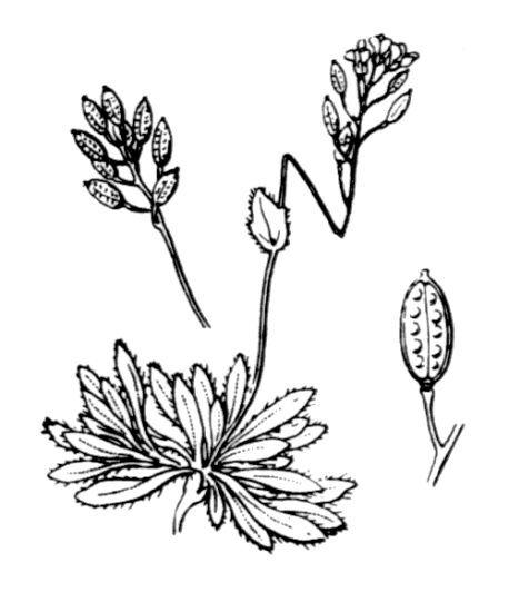 Draba fladnizensis Wulfen