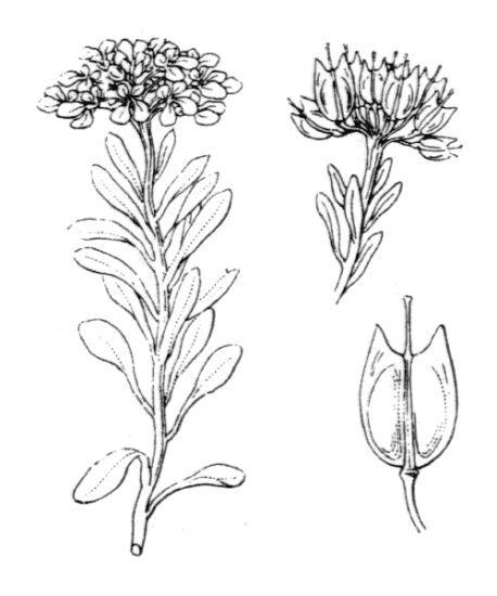 Iberis aurosica Chaix subsp. nana (All.) Moreno