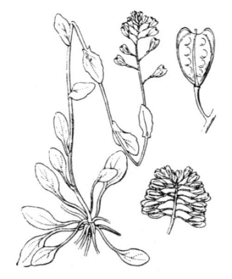 Noccaea brevistyla (DC.) Steud.