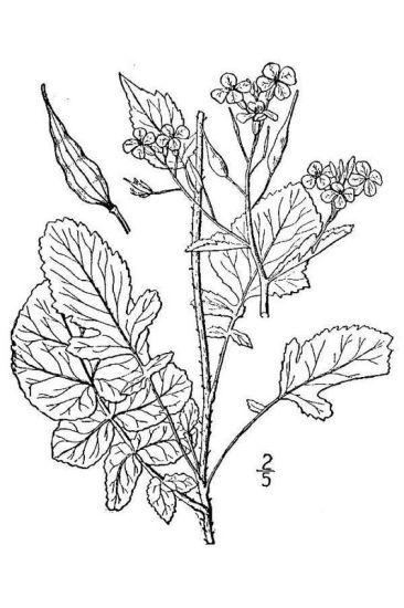 Raphanus raphanistrum L. subsp. sativus (L.) Schmalh.