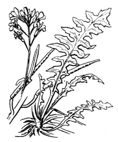 Sisymbrium austriacum Jacq. subsp. austriacum