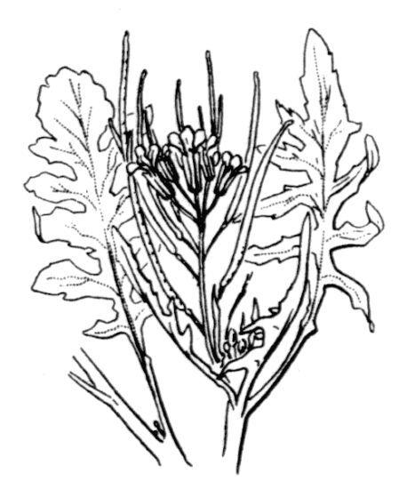 Sisymbrium irio L.