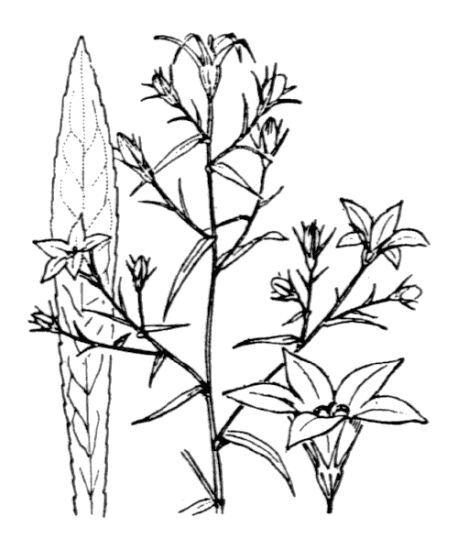 Campanula patula L.