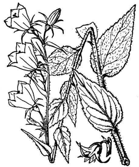 Campanula rhomboidalis L.
