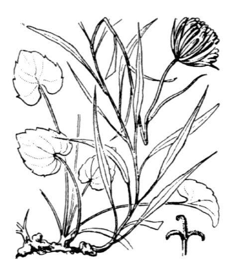 Phyteuma charmelii Vill.