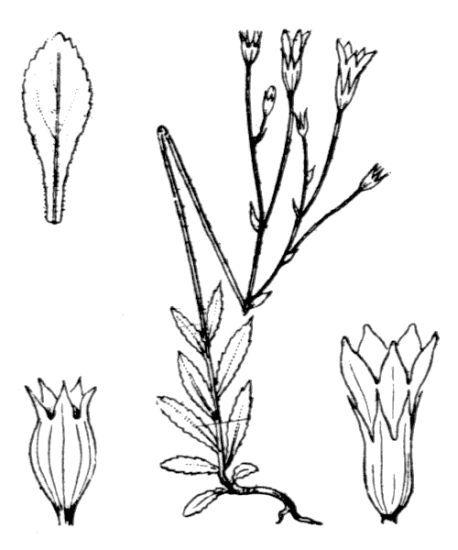 Wahlenbergia lobelioides (L.f.) Link subsp. nutabunda (Guss.) Murb.