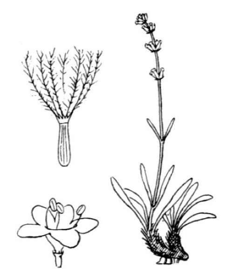 Valeriana celtica L. subsp. celtica