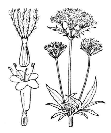 Valeriana excelsa Poir. subsp. sambucifolia (J.C.Mikan ex Pohl) Holub
