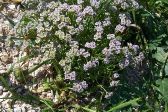 Valerianella pumila (L.) DC.