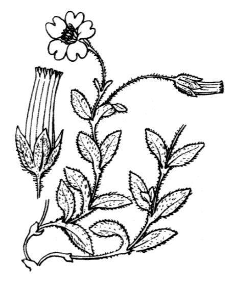 Cerastium latifolium L.