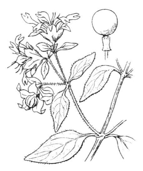 Silene baccifera (L.) Durande