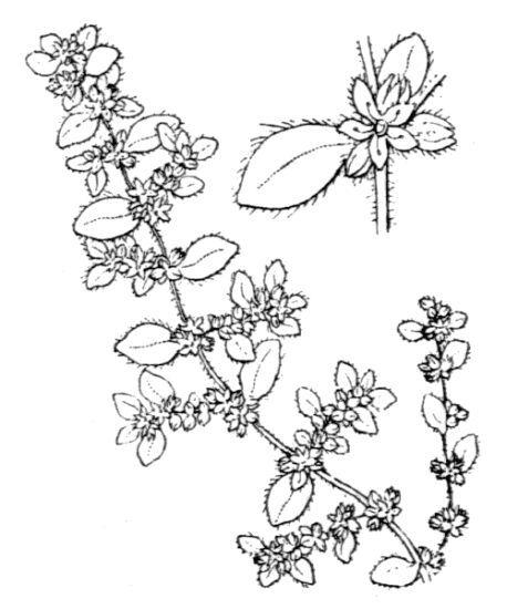 Herniaria litardierei (Gamisans) Greuter & Burdet