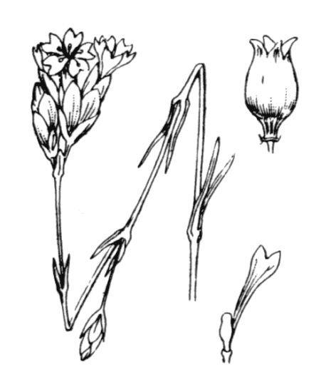 Petrorhagia prolifera (L.) P.W.Ball & Heywood