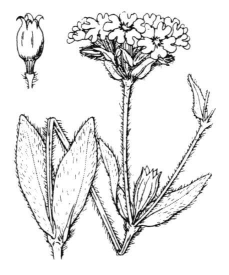 Lychnis flos-jovis (L.) Desr.