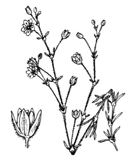 Spergularia rubra (L.) J.Presl & C.Presl