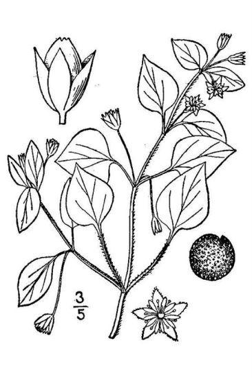 Stellaria media (L.) Vill. subsp. media