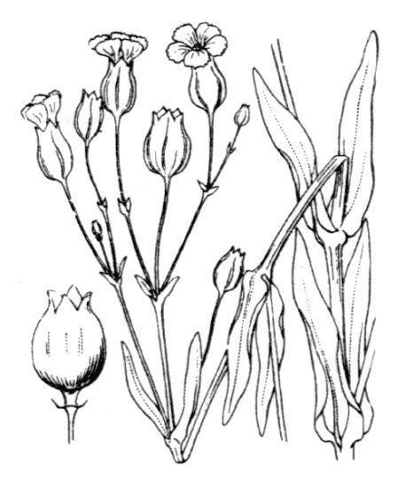Gypsophila vaccaria (L.) Sm.