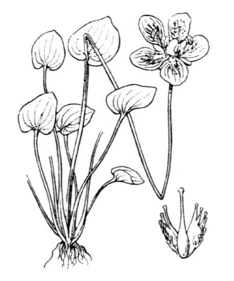 Parnassia palustris L. subsp. palustris