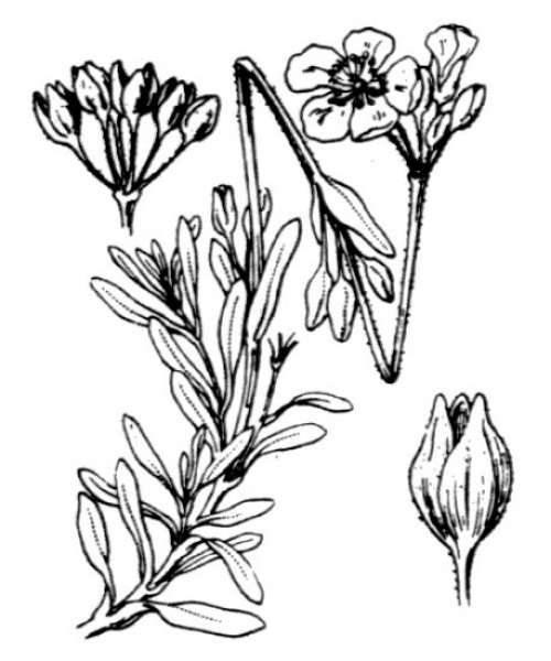 Halimium umbellatum (L.) Spach