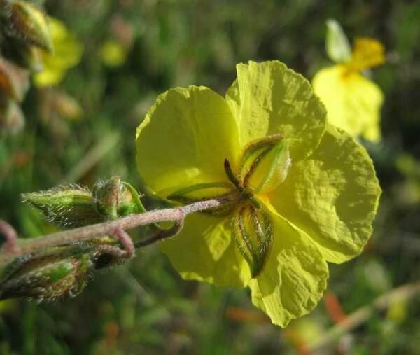 Helianthemum jonium Lacaita & Grosser