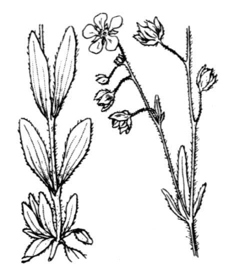 Tuberaria guttata (L.) Fourr.