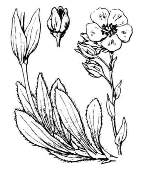 Tuberaria lignosa (Sweet) Samp.