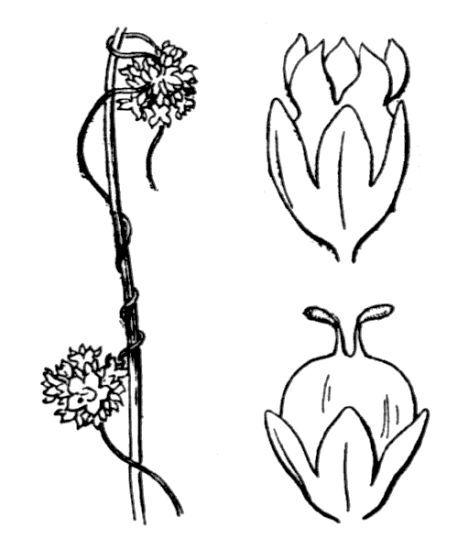 Cuscuta epilinum Weihe