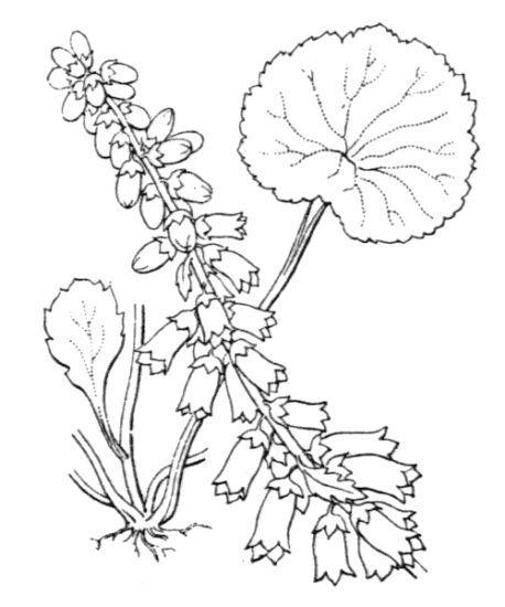 Umbilicus rupestris (Salisb.) Dandy