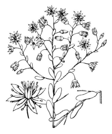 Sedum caeruleum L.