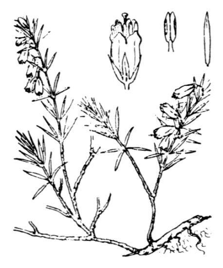 Erica carnea L. subsp. carnea