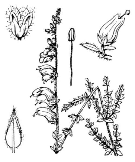 Erica ciliaris L.