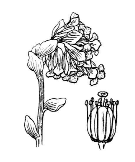 Monotropa hypopitys L.