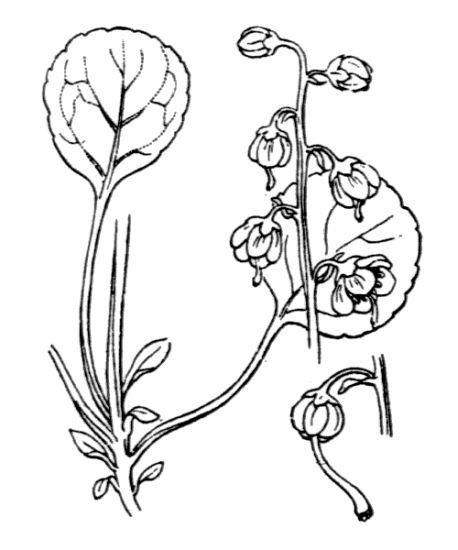 Pyrola chlorantha Sw.