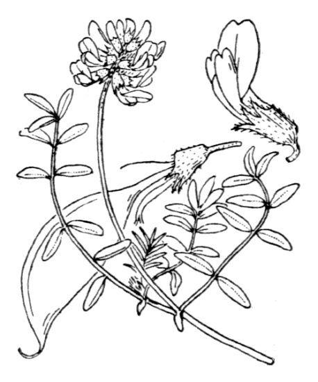 Astragalus australis (L.) Lam.