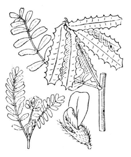 Astragalus pelecinus (L.) Barneby subsp. pelecinus