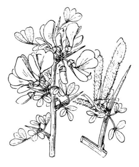 Cytisus laniger DC.
